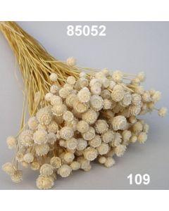 Knopfblume gebleicht / gebleicht / 85052.109